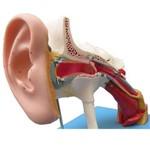 Ouvido Ampliado Classico com 58 Posições para Estudos Anatomic - Código: Tzj-0309-e