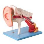 Ouvido Ampliado Clássico em 8 Partes Modelo Anatômico
