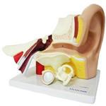 Ouvido Ampliado com 3 Partes Anatomic - Código: Tzj-0309-a