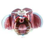 Pélvis Feminina com Esqueleto, Músculos e Órgãos 4 Partes