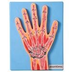 Secção Mediana da Articulação da Mão Modelo Anatômico