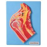 Secção Mediana da Articulação do Ombro Modelo Anatômico