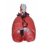 Sistema Respiratório com 7 Partes - Pulmão Luxo Anatomic - Tgd-0318-b