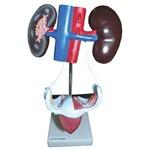 Sistema Urinário Feminino Anatomic - Tgd-0328-c