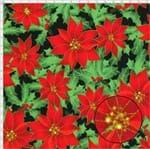 Tecido Estampado para Patchwork - 26646 Flor de Natal Cor 02 Preto (0,50x1,40)