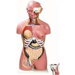 Torso Bissexual 85cm com 24 Partes Anatomic - Tzj-0202-b