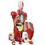 Torso Masculino Musculado 108cm com Órgãos Internos 27 Partes - Anatomic - Tgd-4016